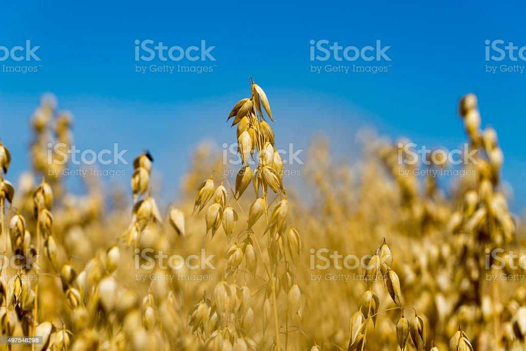 Golden oat field close-up stock photo