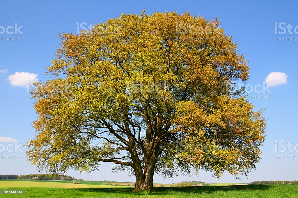 Golden old Beech Tree in early Spring royalty-free stock photo