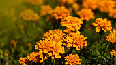 Fresh Mexican Marigold flowers with dark green background