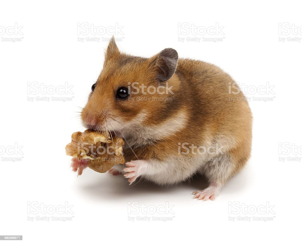 Golden, or Syrian Hamster, Goldhamster (Mesocricetus auratus) royalty-free stock photo