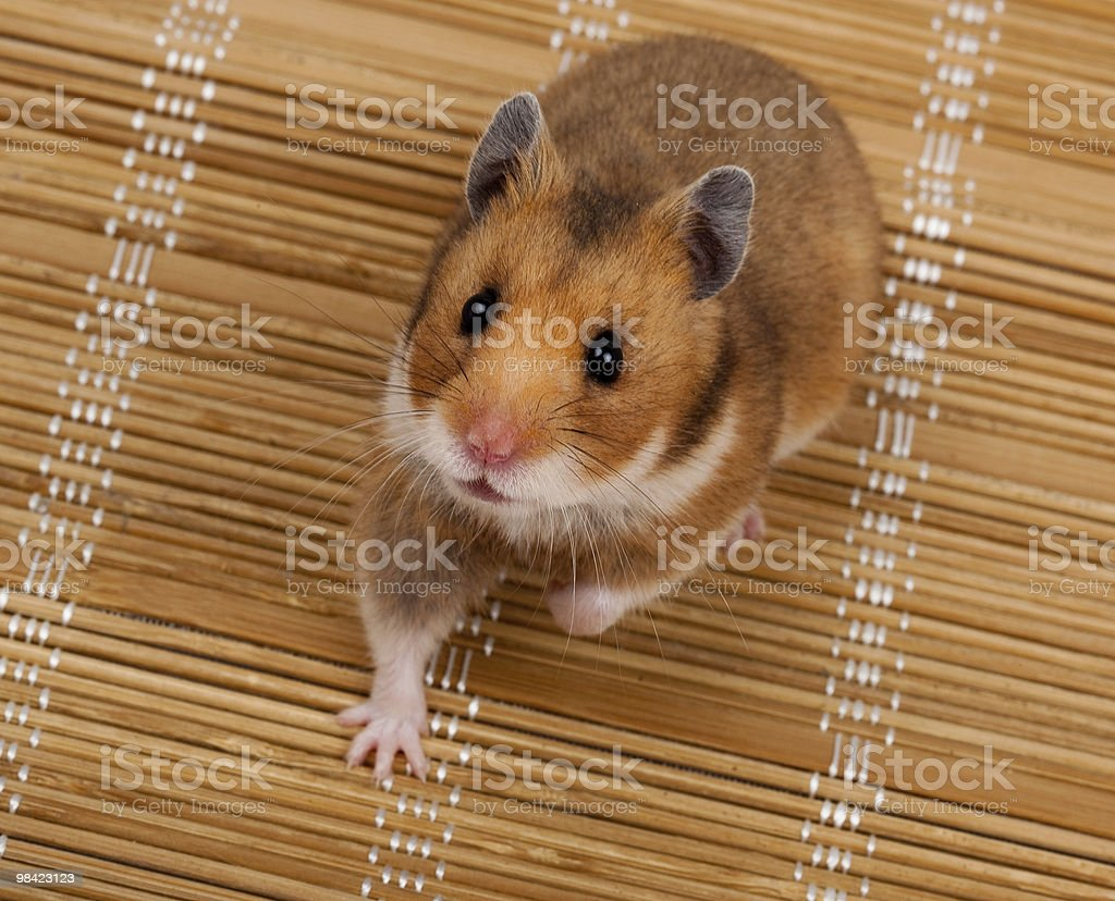 Golden, or Syrian Hamster, Goldhamster (Mesocricetus auratus) stock photo