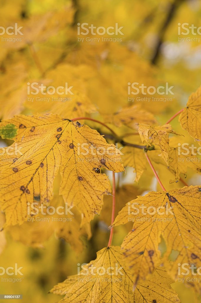 Golden orange autumn leaves with a bug royalty-free stock photo