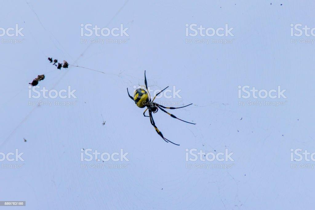 Golden Orb silk weaver spider in web, Boa Vista, Cape Verde stock photo
