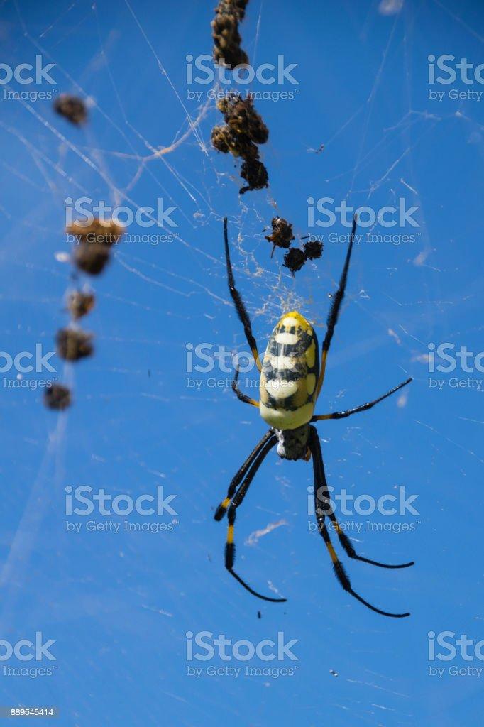 Golden orb silk weaver spider stock photo