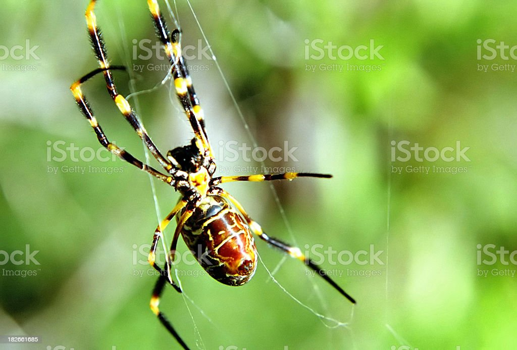 Golden Orb Spider 02 royalty-free stock photo