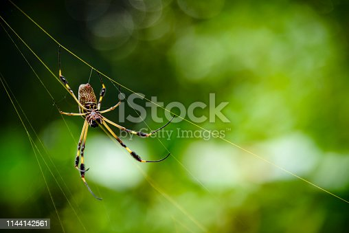 Golden orb spider in it's golden colored web