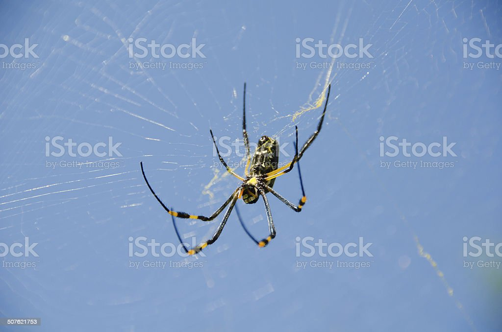 Golden Orb Spider In Web stock photo