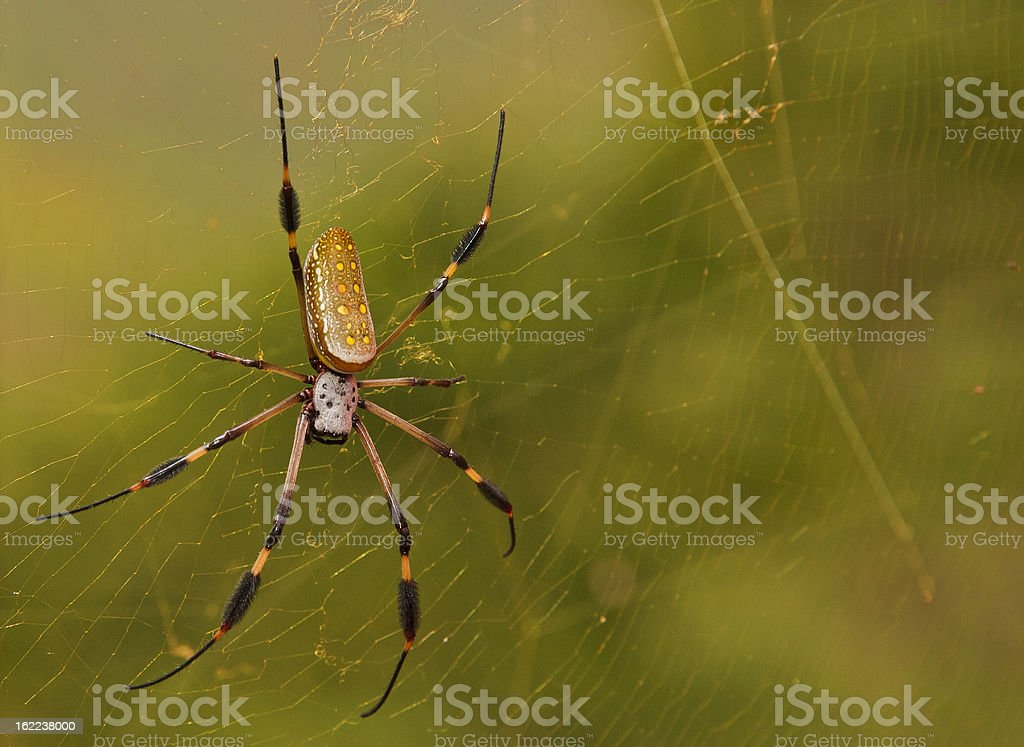 Golden Orb Spider royalty-free stock photo