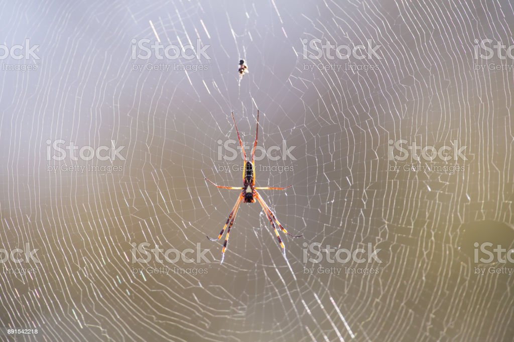 Golden orb spider sit on a web waiting for insects in the morning sun stock photo