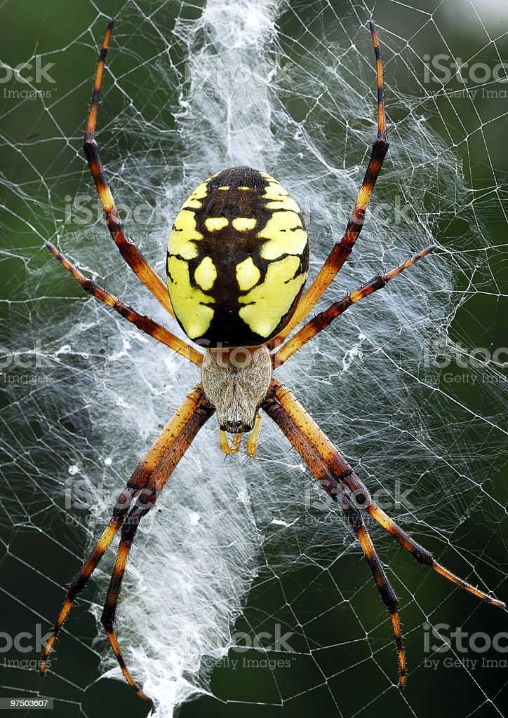 Golden Orb Weaver royalty-free stock photo