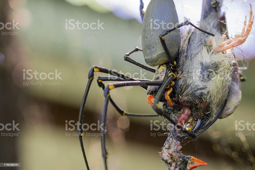 Golden Orb Weaver spider eating finch stock photo