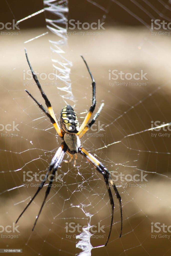 Golden Aranha Tecelã - foto de acervo