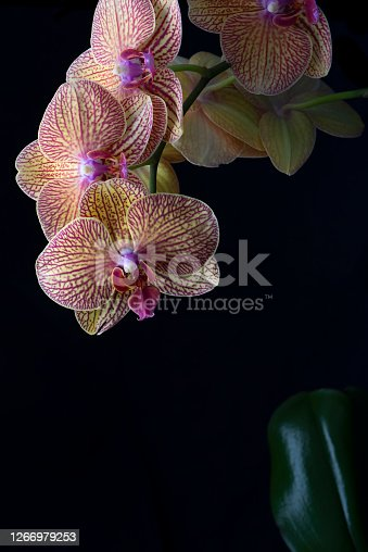 A Phalaenopsis Orchid, or commonly known as Moth Orchid, on a black background