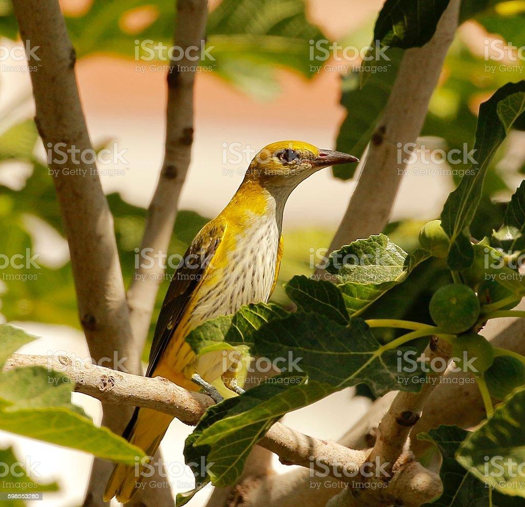 Golden Oriole (Female) stock photo