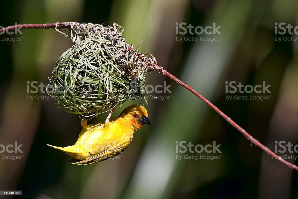 A golden palm weaver building its nest on a branch stock photo