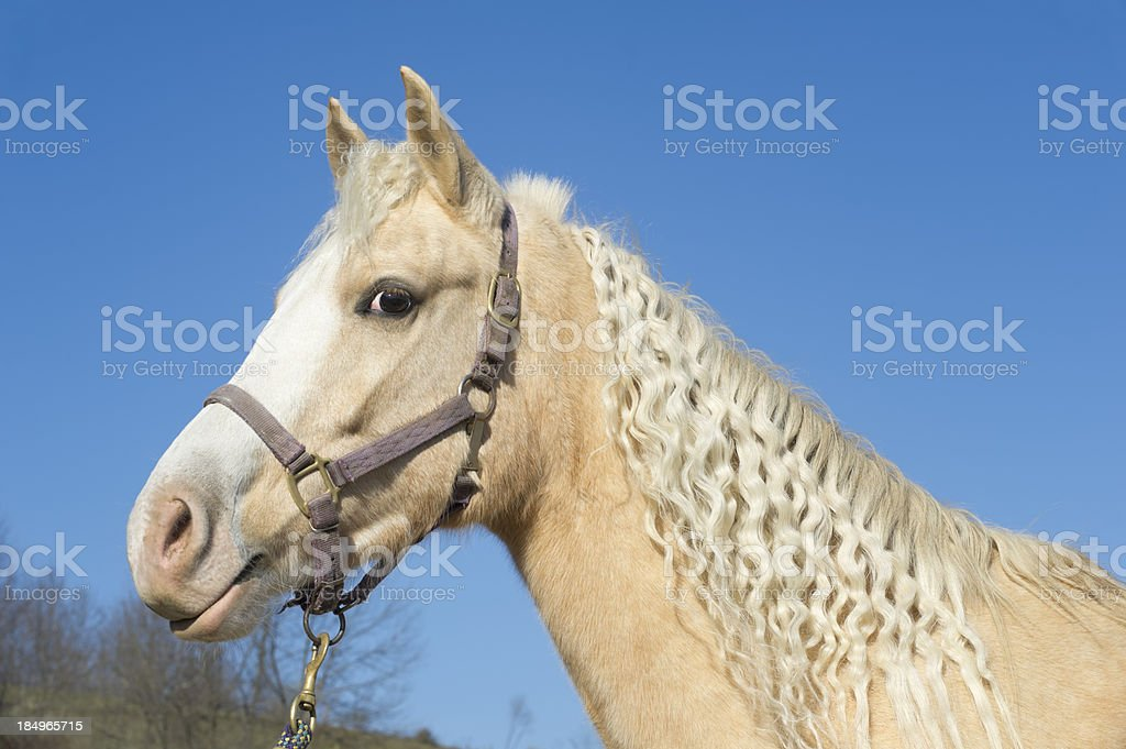 Golden Palomino Horse with Curly Mane, Side View stock photo