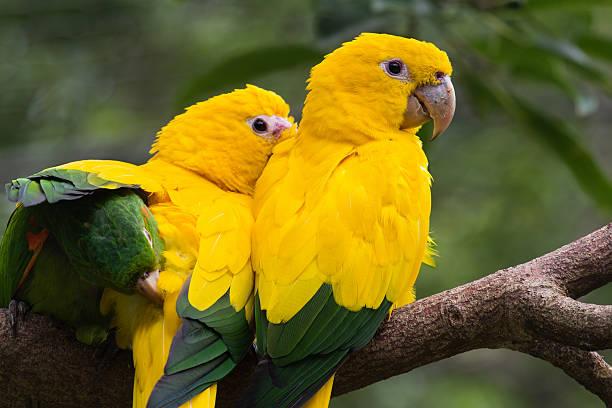 Golden Sittich Vögel – Foto