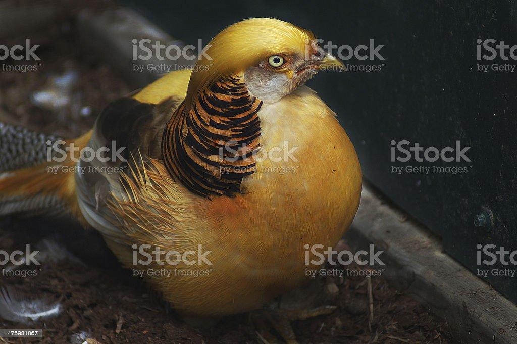 Golden Pheasant Chrysolophus pictus royalty-free stock photo