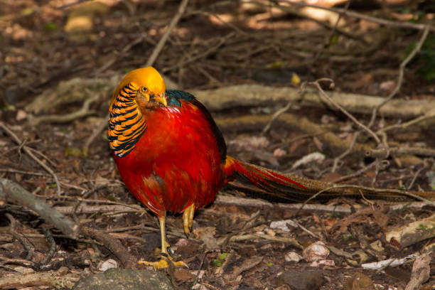 Golden Pheasant foraging full length standing on the ground facing the camera stock photo