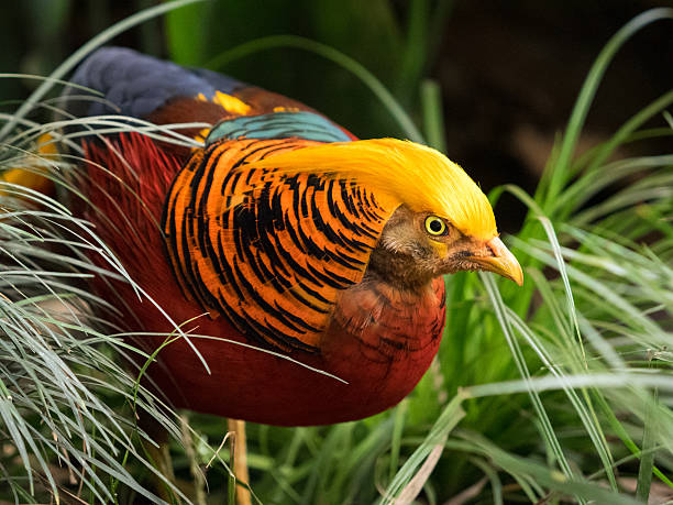 Golden pheasant male stock photo