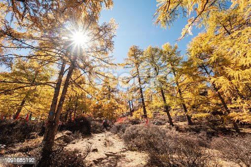 Golden pine forest with sunlight in national park at Yading nature reserve