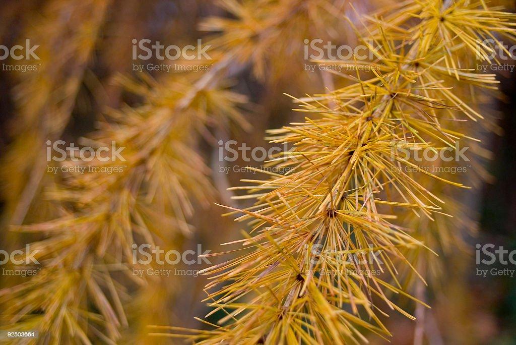 Golden pine needles royalty-free stock photo