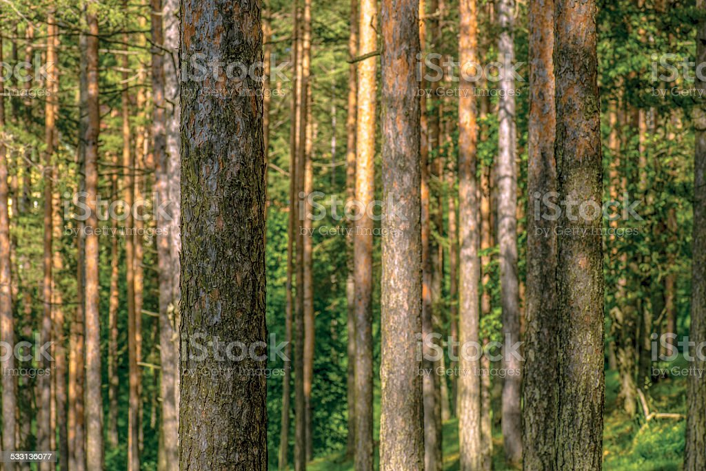 Golden pine tree forest (Pinus sylvestris) stock photo