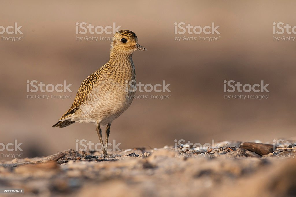 Golden Plover stock photo