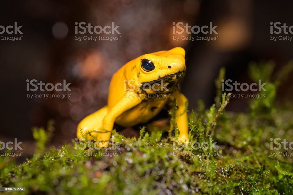 golden poison frog on the ground in the rainforest stock photo