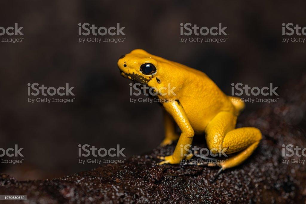 Goldene poison frog – Foto