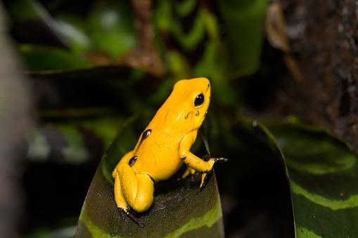 """Résultat de recherche d'images pour """"golden poison frog"""""""