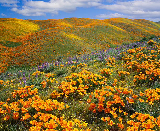 Golden poppies on a field next to hills in California California Golden Poppies cover the hills of Antelope Valley,California wildflower stock pictures, royalty-free photos & images