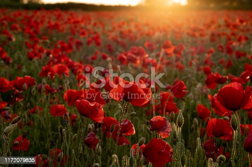Golden sunset light bursting through the clouds onto a beautiful poppy field