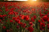 Golden sunset light bursting through the clouds onto a beautiful poppy field