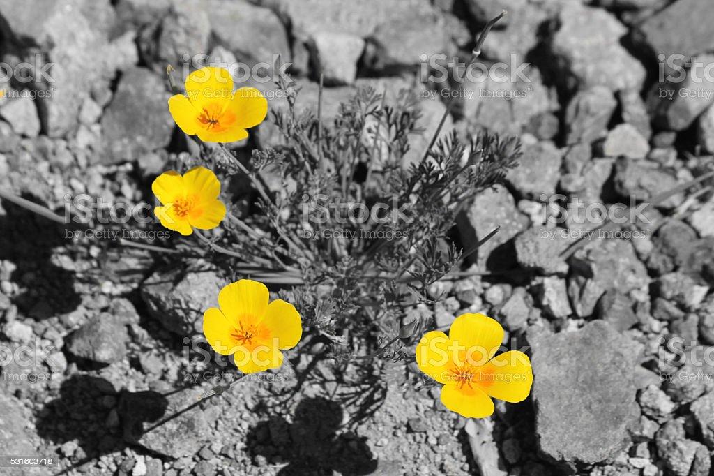 Golden Poppy stock photo