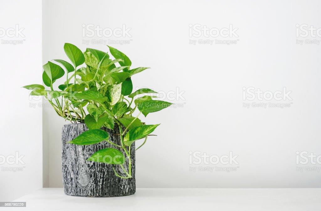 Golden Pothos oder Efeutute Aureum auf weißen Tisch im Wohnzimmer zu Hause und Garten – Foto