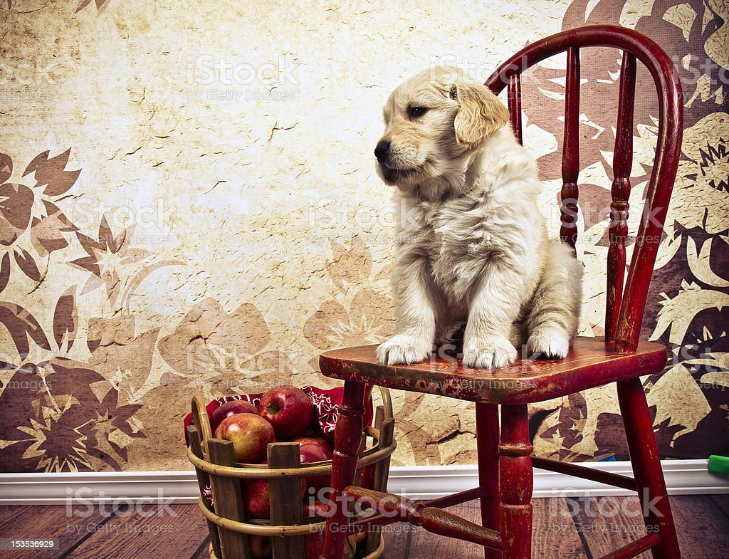 Golden Pup and Harvest Apples royalty-free stock photo