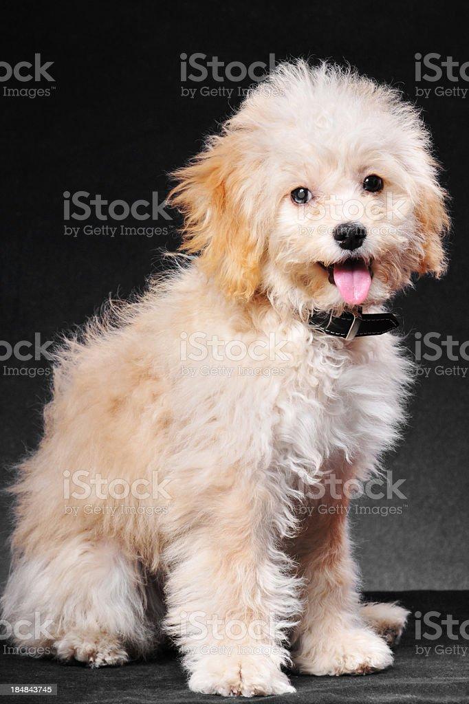 Golden puppy stock photo