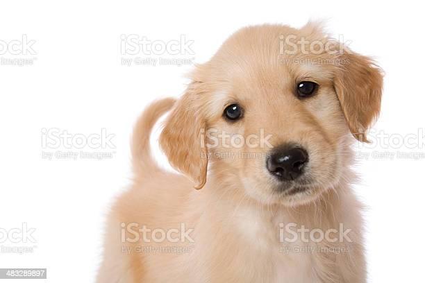 Golden puppy picture id483289897?b=1&k=6&m=483289897&s=612x612&h=apwtkuok1salkcggrxslr2gnm8q3q esi1y0nyadeo0=