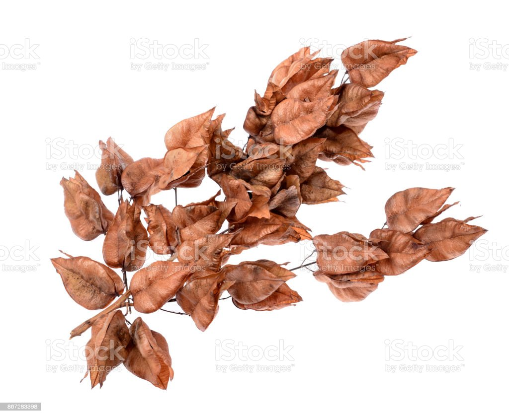 Golden Rain tree seed pods koelreuteria paniculata stock photo