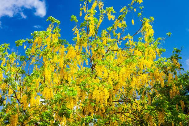 Golden raintree (Koelreuteria paniculata) in full bloom found in Belize