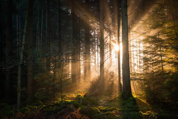 goldene strahlen von licht strömt durch ruhige wälder waldlichtung - baumgruppe stock-fotos und bilder