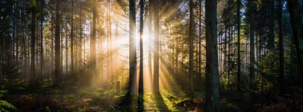 Golden rays of sunlight illuminating idyllic forest clearing sunrise panorama stock photo