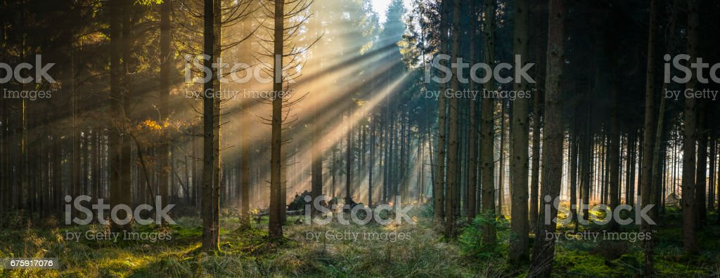 Golden rays of sunlight streaming through idyllic forest glade panorama stock photo
