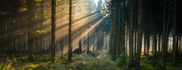 golden rays of sunlight streaming through idyllic forest glade panorama - wilderness stock pictures, royalty-free photos & images