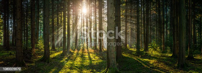 Beams of early morning sunlight streaming through the pine needles of a green forest to illuminate the soft mossy undergrowth in this idyllic woodland glade.