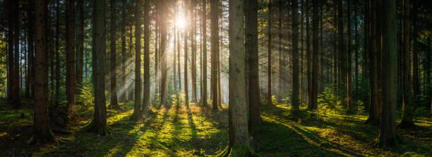goldene strahlen sonnenlicht streaming-tief im grünen wald wald panorama - baumgruppe stock-fotos und bilder