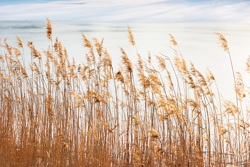 Golden reeds in the sunset