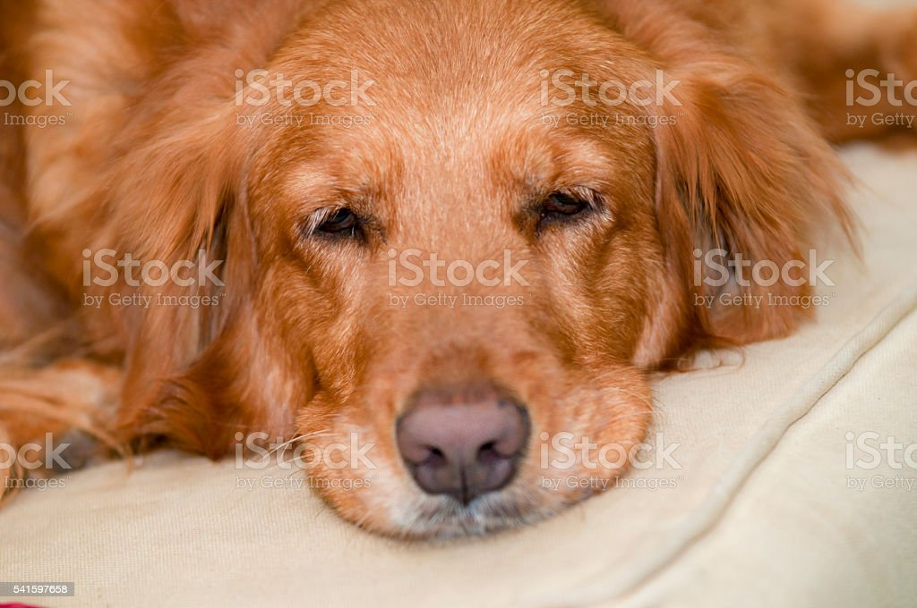 Golden Resting on Couch stock photo