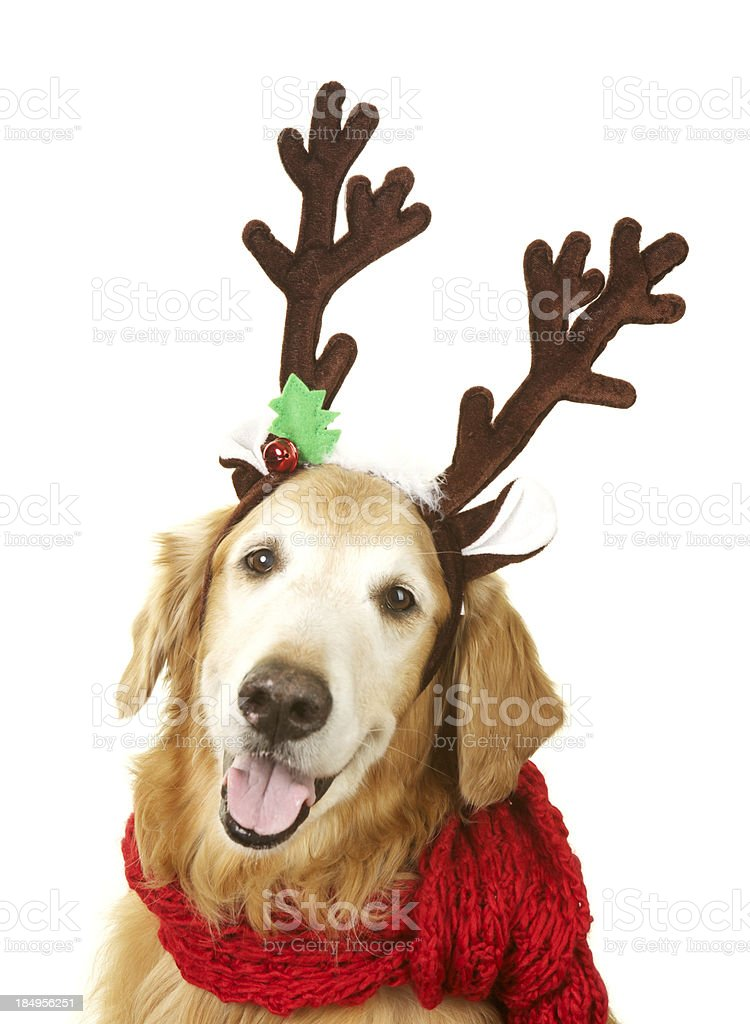 Golden Retreiver Dog with Reindeer Antlers and Red Scarf stock photo